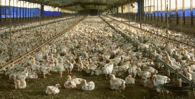la industrialización de los animales para tido tipo de usos
